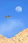 Adult lammergeier or bearded vulture (Gypaetus barbatus) in flight with the out-of-focus moon behind. Ladakh, Himalayas, northern India.