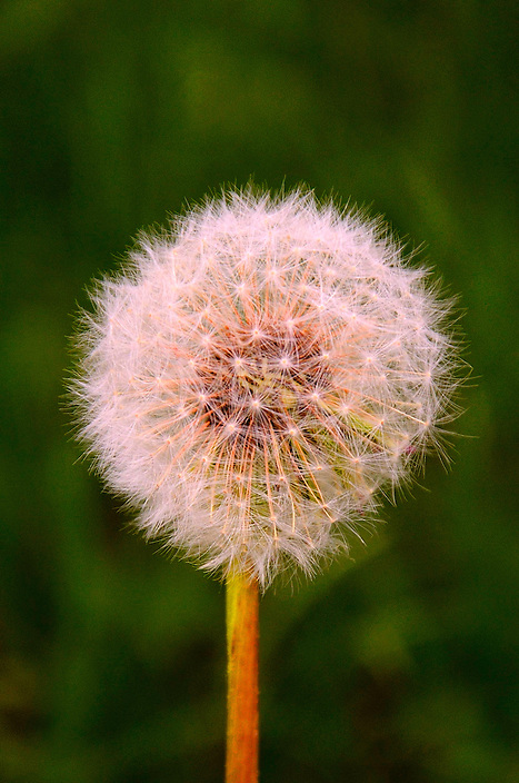 The enemy of all who love their lawns, a dandelion gone to seed...