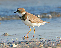 Adult semipalmated plover in non-breeding plumage in September
