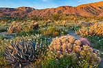 Anza-Borrego Desert State Park, CA: Raking sunrise light on hedgehog cactus (Engelmann's cactus), desert agave (Agave deserti) and brown-eyed primrose (Camissonia claviformis) in Glorieta Canyon