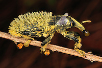 .Weevil Beetle (Lixus barbiger), Curculionidae, Andasibe-Mantadia National Park, Madagascar