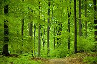 Buchenwald im Frühling, Frühjahr, Hochwald aus Rotbuche, Rot-Buche, Buche, Fagus sylvatica, Common Beech, Europaen Beech, Fayard, Hêtre commun