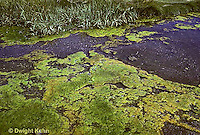 PO05-003x  Pond  Algae - pond scum growing at surface of small pond.