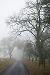 A road and bare oak trees disappear into the fog in the foothills of the Sierra Nevada.