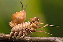Lobster Moth (Stauropus fagi) final instar larva in defensive posture, UK, August. Captive.
