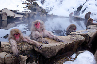 Ryuou, (far left) which means Dragon King, the head of the 160-strong snow monkey troupe relaxes in a natural hot water bath in Jigokudani  (Hell Valley) in Nagano Prefecture, Japan.  Japanese snow monkeys live in extreme conditions where winter temperatures can drop to -20 c, and they are unique in taking hot bath, known as an Onsen..18 Jan 2011