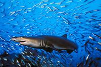 motion blur, sand tiger shark, Carcharias taurus (formerly Odontaspis/ Eugomphodus) wreck of the Papoose, N. Carolina, Atlantic Ocean