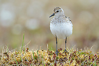 Semipalmated Sandpiper (Calidirs pusilla) perched on tundra. Yukon Delta National Wildlife Refuge. June.