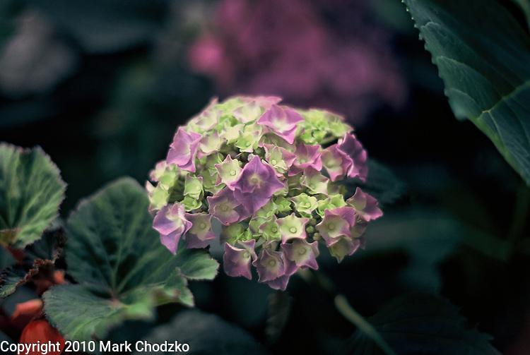 Purple geranium flower.