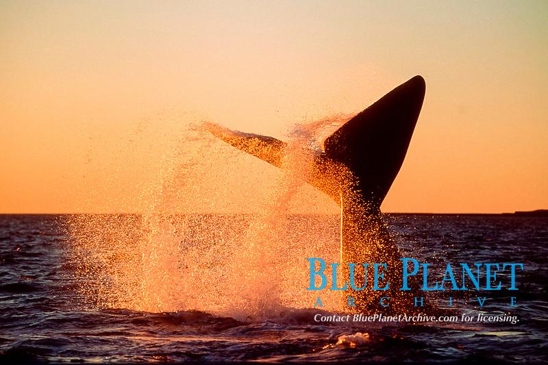 southern right whale, tail-slapping, Eubalaena australis, Valdes, Argentina
