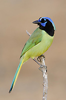 Adult Green Jay (Cyanocorax yncas) of the northern subspecies C. y. glaucescense. Hidalgo County, Texas. March.