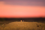 A black-footed ferret pokes its head out of its burrow at sunrise in Buffalo Gap National Grasslands, South Dakota.