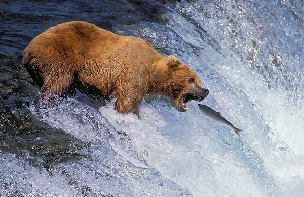 Brown Bear (Ursus arctos middendorffi) catches sockeye salmon leap up Brooks Falls, summer, Katmai National Park, Alaska..