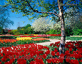 Tom Mackie, FLOWERS, photos, Spring Gardens at Springfields, Spaulding, Lincolnshire, England, GBTM913336-1,#F# Garten, jardín