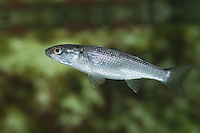 Dicklippige Meeräsche, Meeräsche, Meer-Äsche, Chelon labrosus, Mugil chelo, Mugil chelon, Mugil provensalis, thick-lipped grey mullet, thick-lip grey mullet, thicklip grey mullet, grey mullet, mullet, mulet lippu, mulet à grosses lèvres