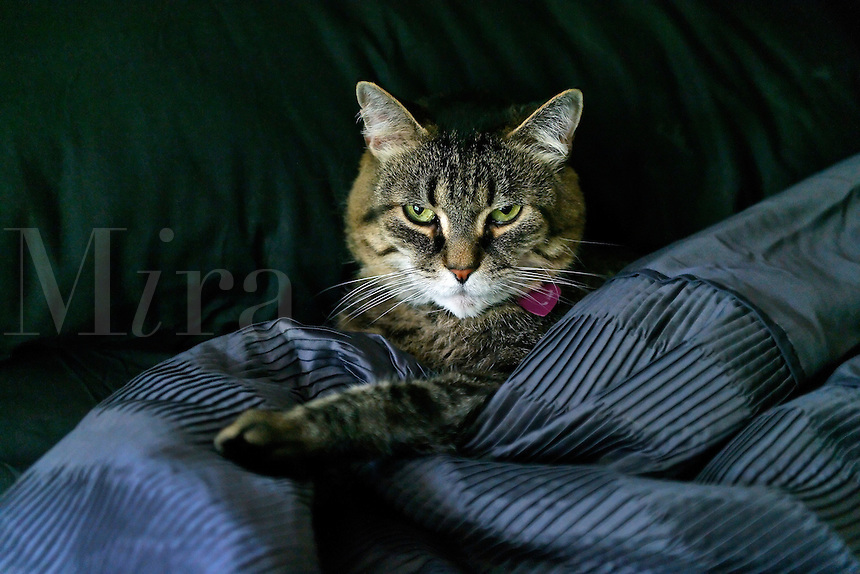 Cat in bed with black quilt and sheets.