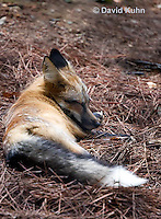 0820-1002  Red Fox, Vulpes vulpes  © David Kuhn/Dwight Kuhn Photography