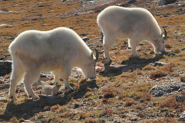 Mountain Goats (Oreamnos americanus) grazing on the alpine slopes of Mount Evans (14250 feet), Rocky Mountains, west of Denver, Colorado, USA Guided photo tours and hiking tours to Mt Evans. .  John leads private, wildlife photo tours throughout Colorado. Year-round.