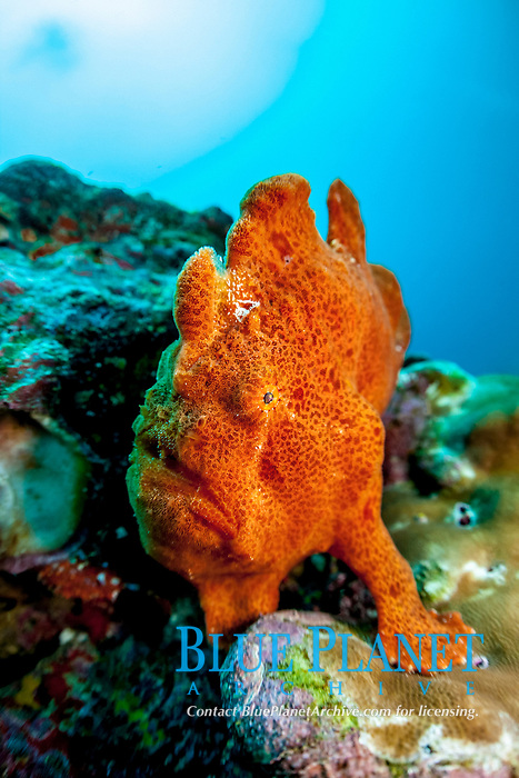 painted frogfish or spotted frogfish, Antennarius pictus, Cocos Island, Costa Rica, Pacific Ocean