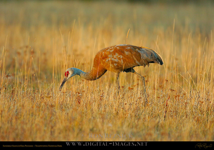 Sandhill Crane in Fall Plumage at Sunset, Yellowstone National Park, Wyoming