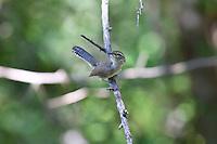 Bewick's Wren, Sonoita Creek Reserve, Patagonia, Arizona