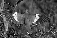 White-winged Dove in black & white.