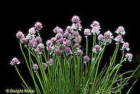 HS35-001a  Chives - in flower - Allium schoenoprasum