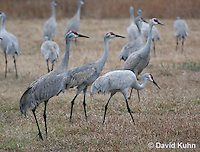 0102-1009  Flock of Sandhill Cranes Eating in Field during Winter, Grus canadensis  © David Kuhn/Dwight Kuhn Photography