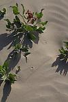 Hanford Reach National Monument, Wahluke Slope, sand dunes, beetle tracks, eastern Washington, Washington State, Pacific Northwest, USA, North America,