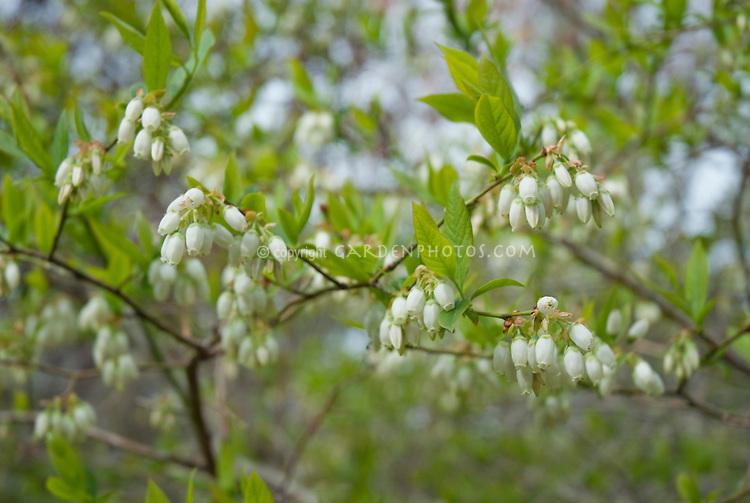 Blueberry Bush in Flower in spring Vaccinium corymbosum
