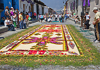 Antigua, Guatemala.  An alfombra (carpet) of flowers and pine needles  decorates the street in advance of the passage of a procession during Holy Week, La Semana Santa.  The alfombra will be finished only a couple of hours before the passage of the procession, after which the remains will be quickly swept away by municipal street sweepers.