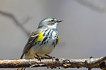 Female yellow-rumped warbler in northern Wisconsin.