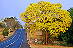 Arvore Ipe Amarelo na Rodovia Euclides da Cunha. Ilha Solteira. Sao Paulo. 2010. Foto de Ana Druzian.