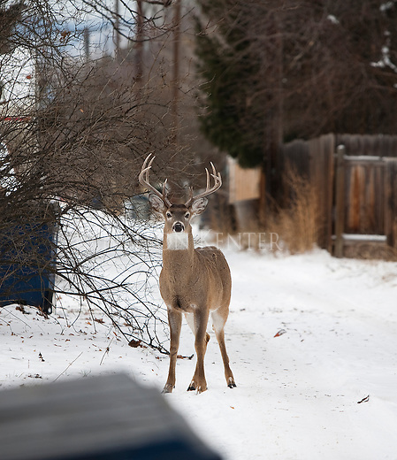 Whitetail buck in a Missoula,Montana neighborhood