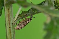 Distelgallenrüssler, Distelgallen-Rüssler, Distel-Gallenrüssler, Cleonis pigra,  Cleonis piger, Cleonus pigra, Cleonus piger, Sluggish weevil, Large Thistle Weevil