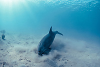 Bottlenose Dolphin ( Tursiops truncatus ) feeding in sandy bottom.