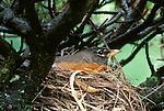 American robin, Seattle, Washington