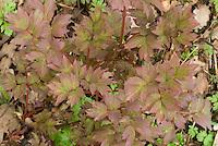 Paeonia suffruticosa 'Wu Long Peng Sheng' in new spring growth
