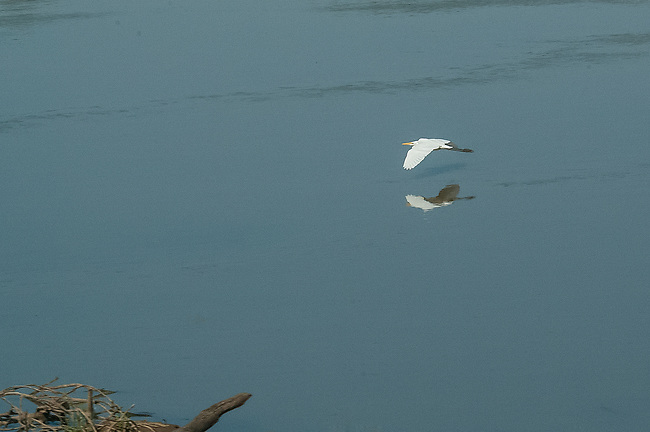 Great White Egret, Luangwa River