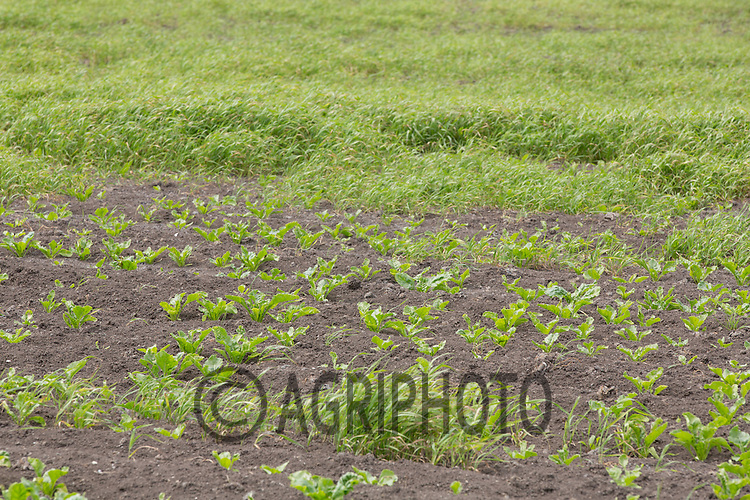 Couch or twitch growing in a sugar beet crop<br /> Picture Tim Scrivener 07850 303986