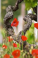 syrah gobelet training old vine vineyard poppies dom a voge cornas rhone france