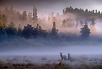 A pair of Roosevelt Elk bulls stand in a misty field in Redwoods National Park, California.