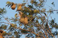 Yellow-rumped Cacique, (Cacicus cela)