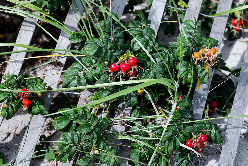 Rose hips and weathered wind fence on Cape Cod.