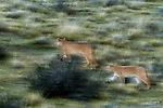 Mountain Lion (Puma concolor) mother and six month old cub walking through pre-andean shrubland, Torres del Paine National Park, Patagonia, Chile
