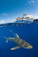 oceanic whitetip shark, Carcharhinus longimanus, with pilot fish and boat in background, Naucrates ductor, Columbus Point, Cat Island, Bahamas, Caribbean Sea, Atlantic Ocean