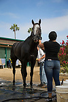 DEL MAR,CA-AUGUST 18: Arrogate is washed at Del Mar Race track on August 18,2017 in Del Mar,California (Photo by Kaz Ishida/Eclipse Sportswire/Getty Images)