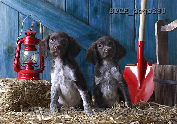 Xavier, ANIMALS, dogs, photos(SPCHdogs380,#A#) Hunde, perros