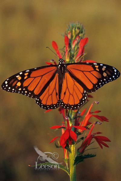 Monarch butterfly (Danaus plexippus), Tallgrass Prairie, Neal Smith NWR, Iowa.  Summer