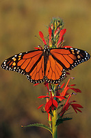 Monarch butterfly (Danaus plexippus), Tallgrass Prairie, Neal Smith NWR, Iowa.  Summer